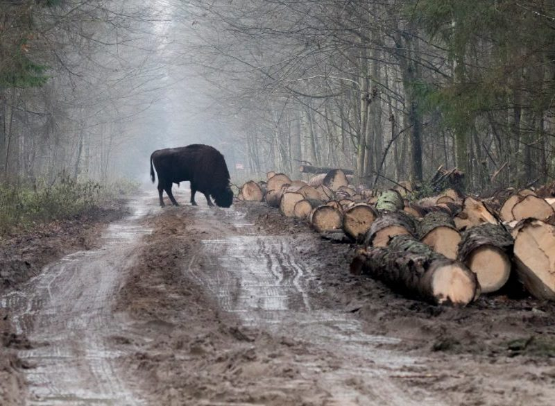 Logging goes on as before. We will march for the Forest on Dec. 30th.