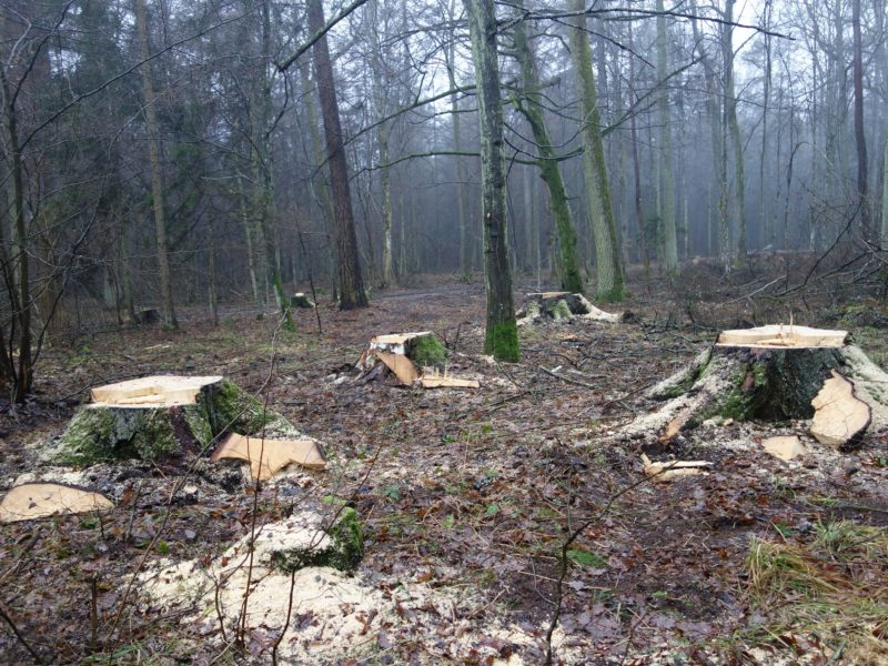 Logging of the Białowieża Forest assessed unlawful by CJEU Advocate General