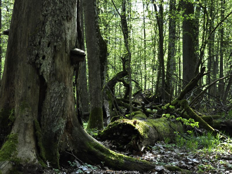 Poland faces €100,000-a-day fines over illegal logging in Bialowieza Forest